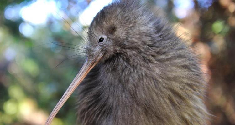 Kiwi te puia park