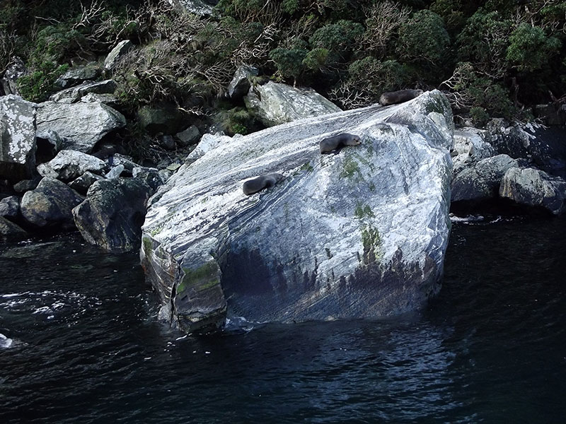 Milford Sound nova zelandia focas