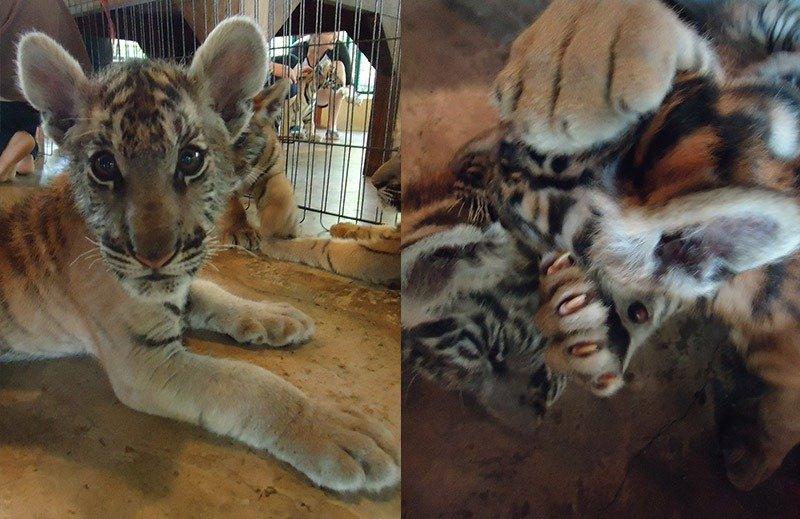baby tigre tiger kingdom