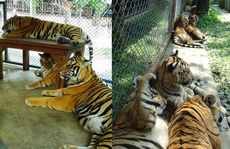 jaulas dos tigres em tiger kingdom tailandia