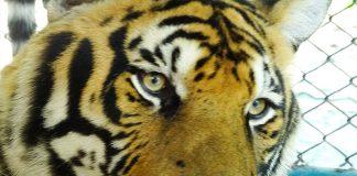 visita ao tiger kingdom tailandia chiang mai