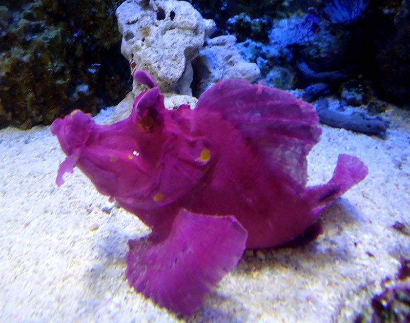 peixe roxo aquario singapura