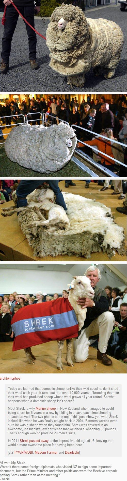fatos bizarros da Nova Zelândia ovelha shrek