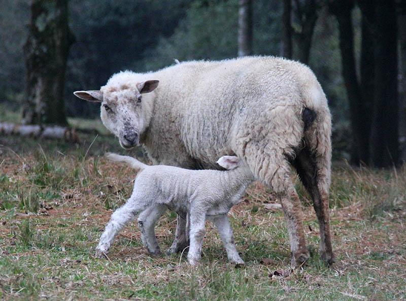 ovelha mamando rota caminhos de pedra