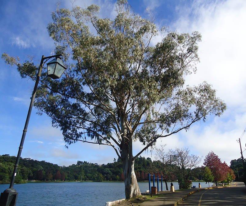 São-Francisco-de-Paula-e-Lago-São-Bernardo-árvore
