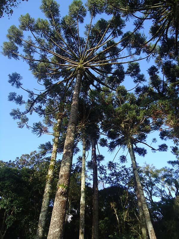 Uma-tarde-ensolarada-no-Jardim-Leopoldina-araucaria