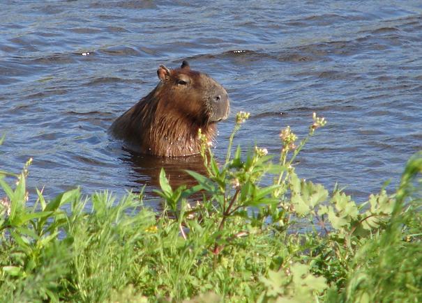 Estrada até o Chuí - Mochilinho Uruguai capivara reserva ecologica do taim