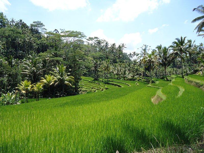 templo-lindo-bali-arroz