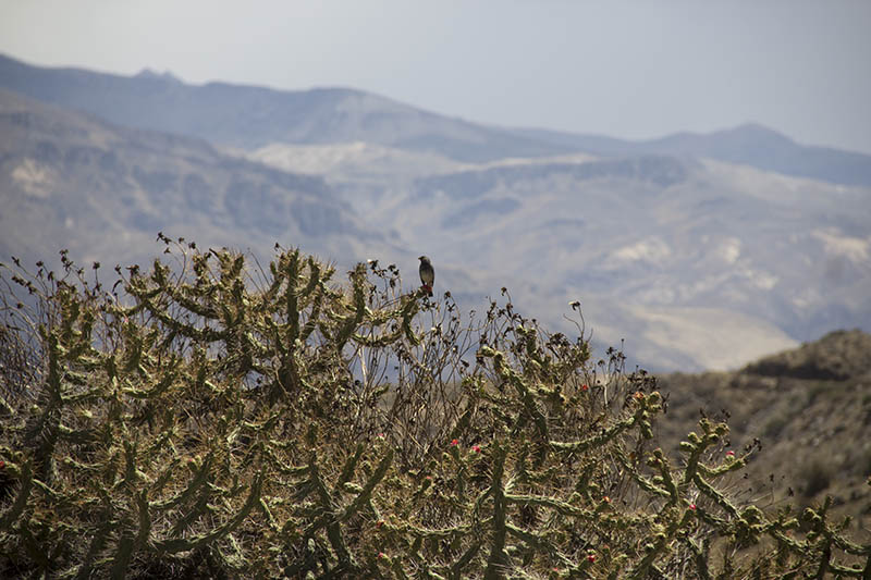 Canion del Colca peru cactus fauna flora