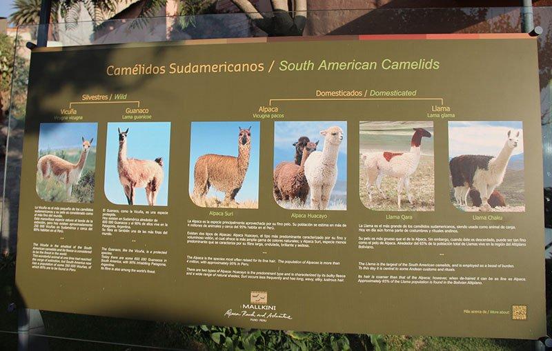 15 curiosidades sobre o peru diferenças alpaca lhama vicuna