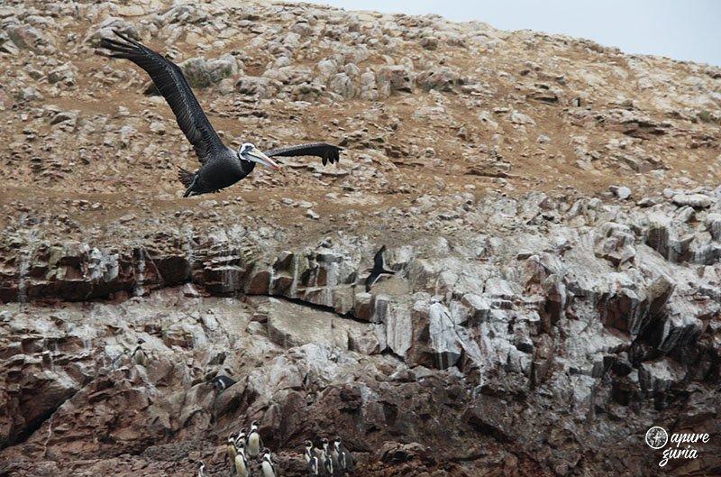 Ilhas Ballestas o tour mais cagado do Peru pelicano