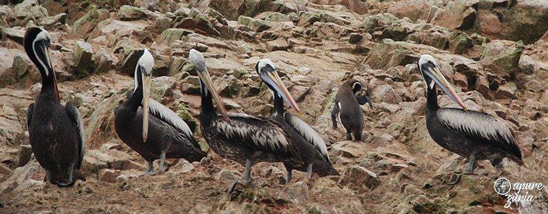 Ilhas Ballestas o tour mais cagado do Peru pelicanos