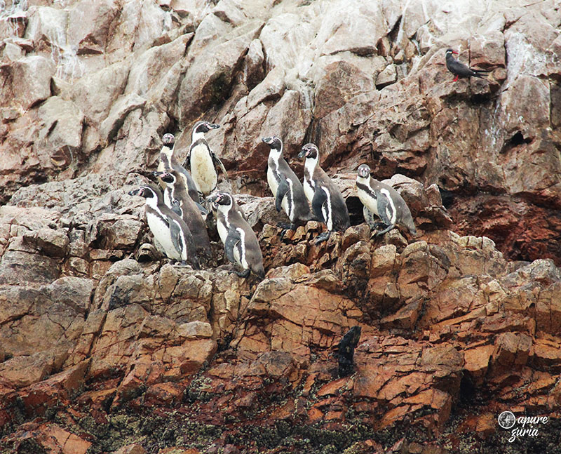 Ilhas Ballestas o tour mais cagado do Peru pinguins