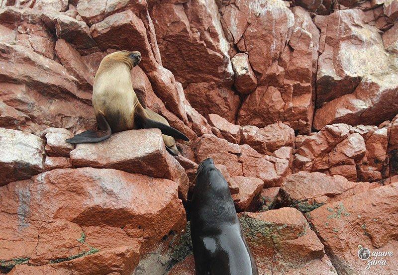 animais ilhas ballestas casal leao marinho