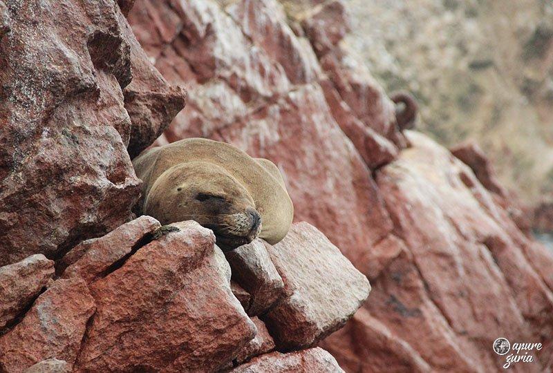 animais ilhas ballestas leao marinho