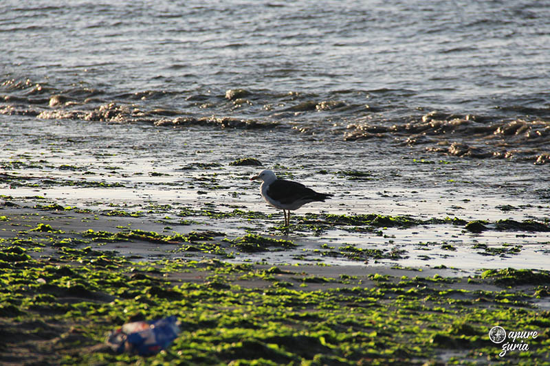 paracas praia gaivota