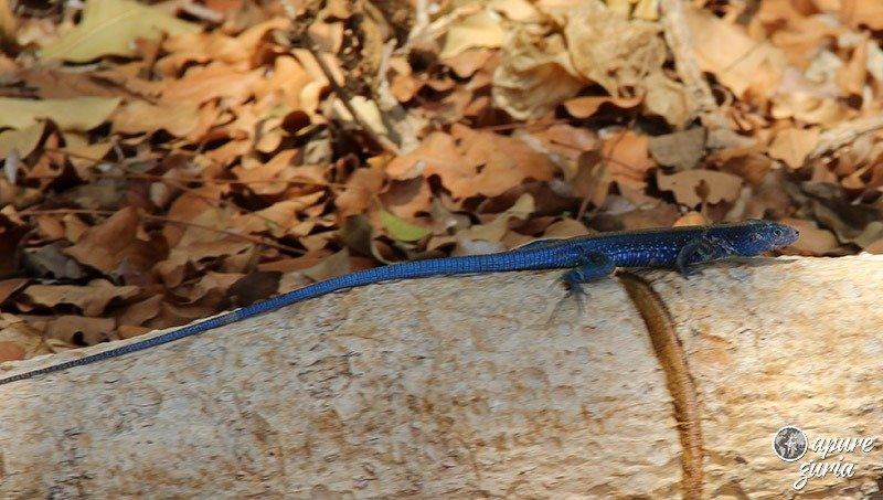lagarto azul san andres