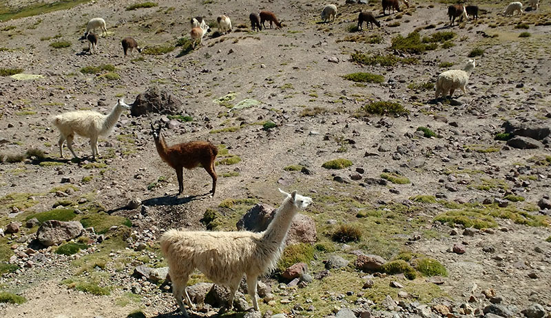 lhamas selvagens arequipa colca canion