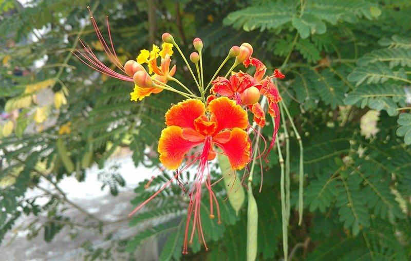 flor-de-barbados
