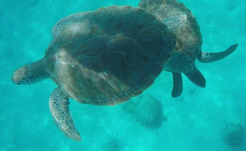 mergulho tartarugas barbados blue