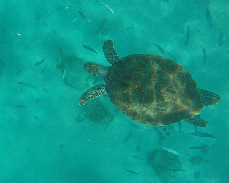tartaruga barbados snorkel