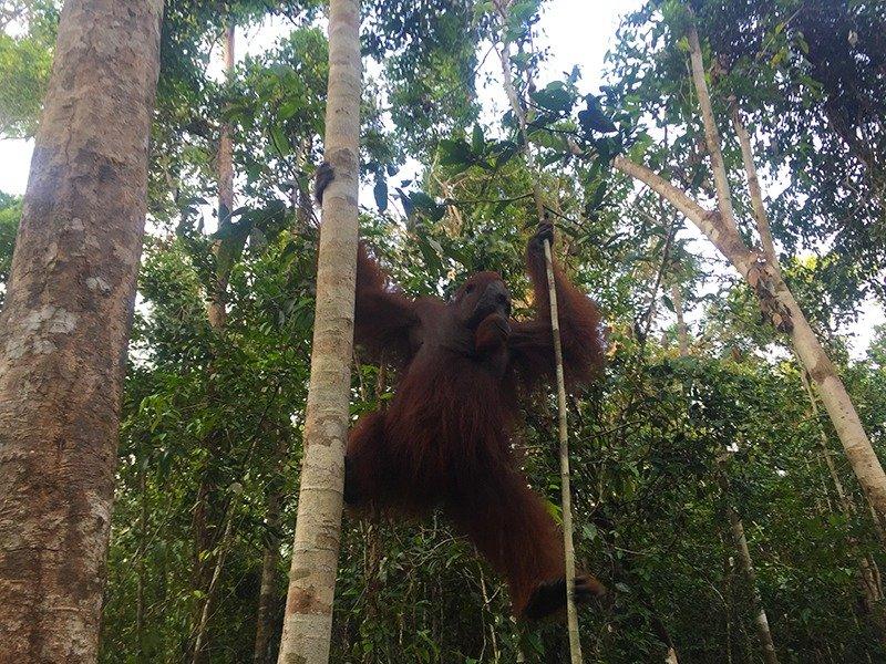 orangotango-borneu-indonesia