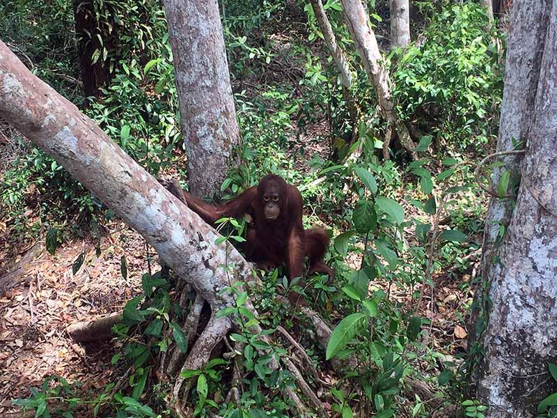 orangotangos-em-borneu-indonesia-parque