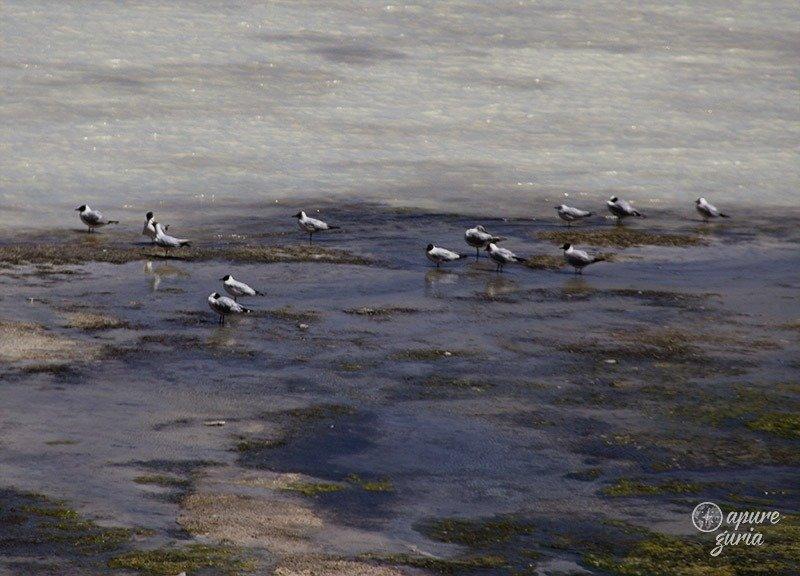 aves laguna blanca bolivia