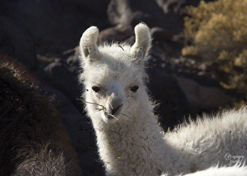 filhote lhama bolivia salar de uyuni