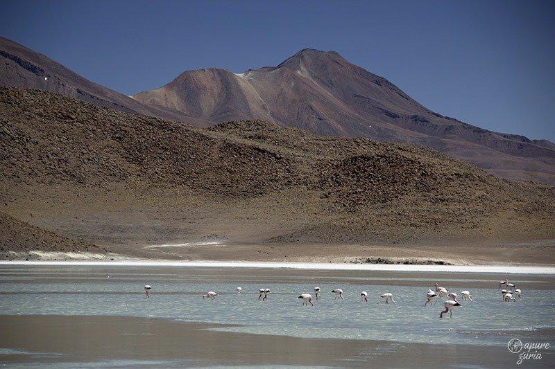 flamingos bolivia laguna honda