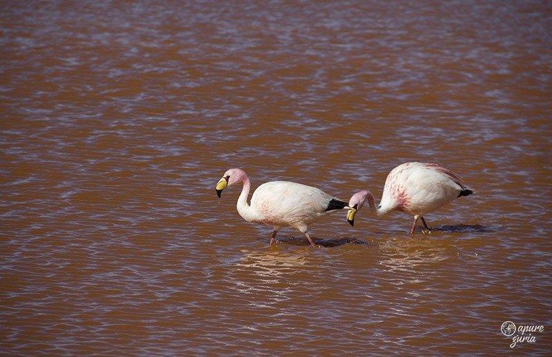 flamingos laguna colorada bolivia
