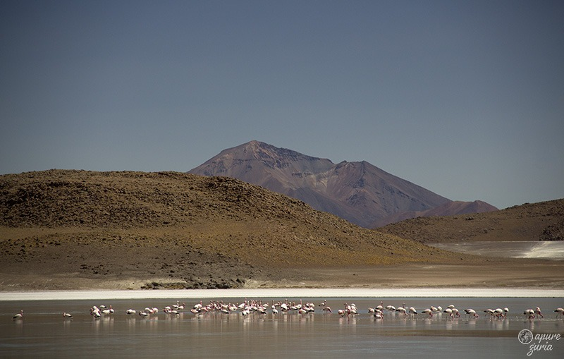 flamingos laguna honda uyuni bolivia