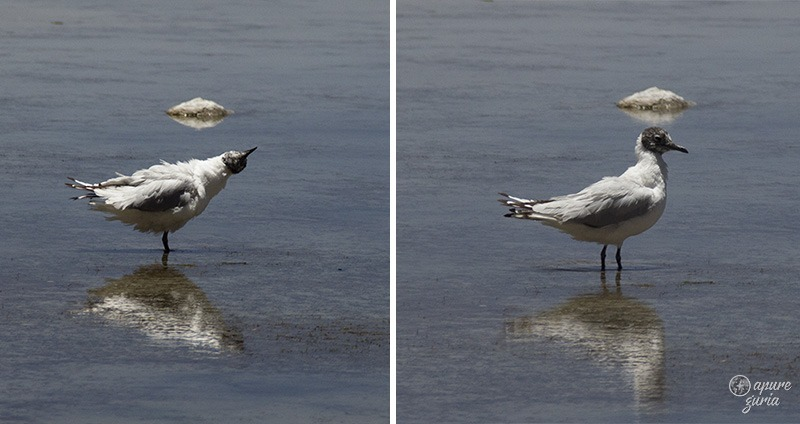 gaivota andina salar de uyuni bolivia