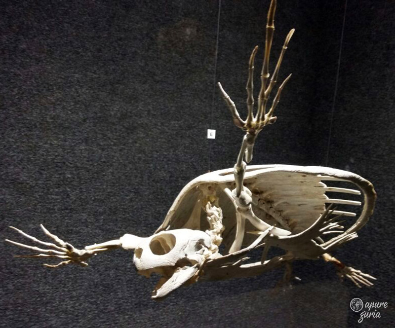 esqueleto tartaruga marinha museu univali