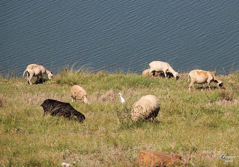 ovelhas lago de ita