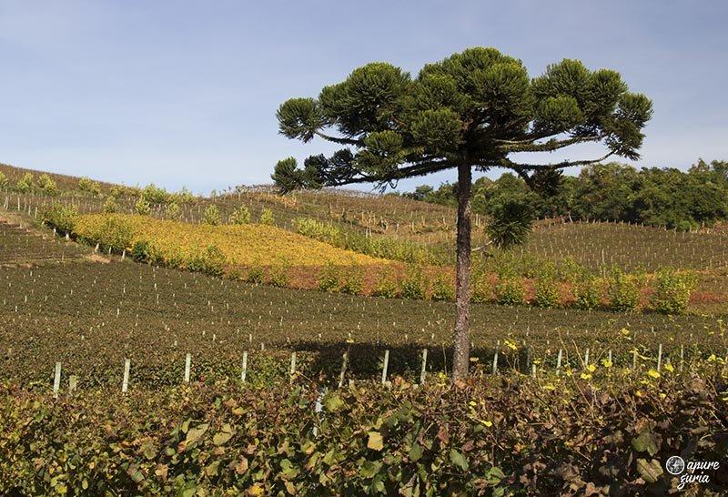 pinheiro outono no vale dos vinhedos miolo outono