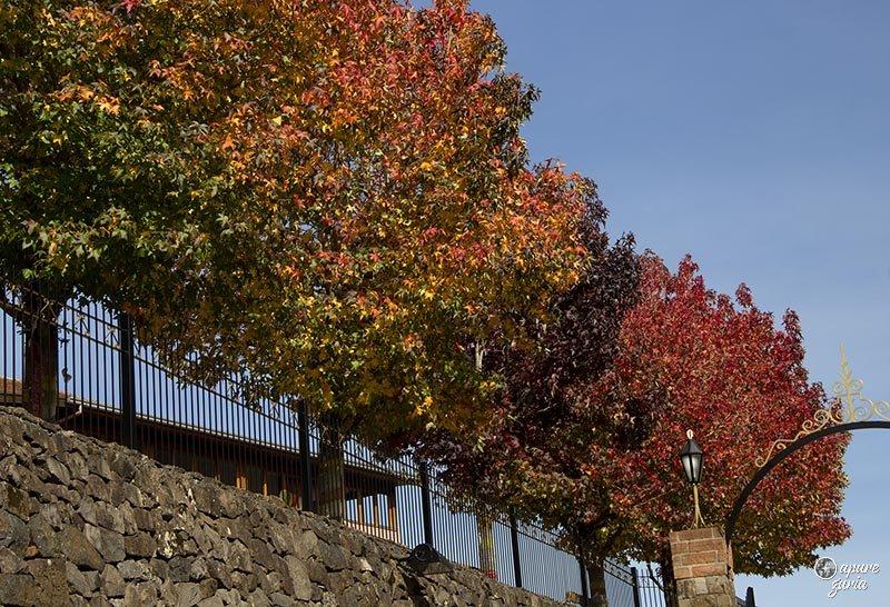 platanos vermelho amarelo outono no vale dos vinhedos serra gaucha