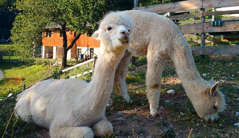 lhama alpaca aprender italiano sozinha dicas