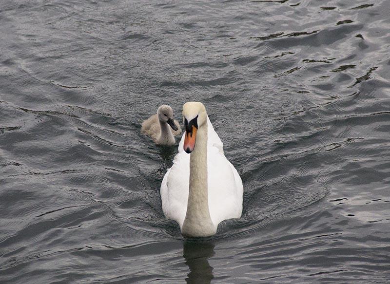cisne com filhote lago lucera