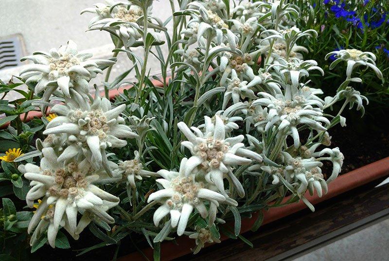edelweiss flor simbolo da suiça