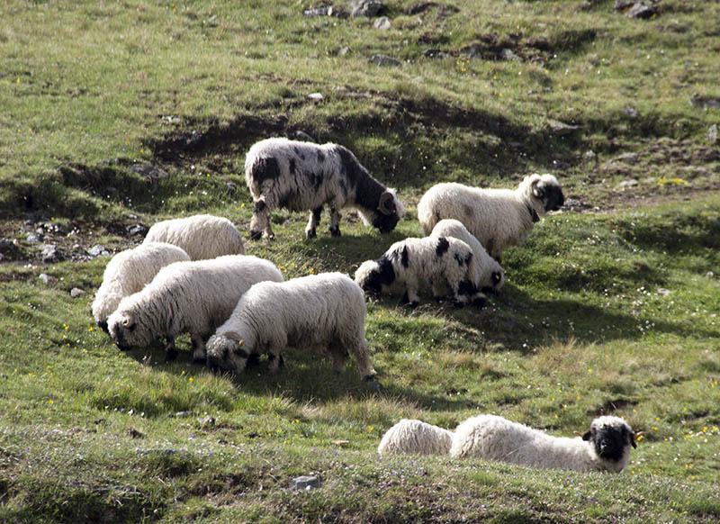 ovelhas cara preta zermatt suiça