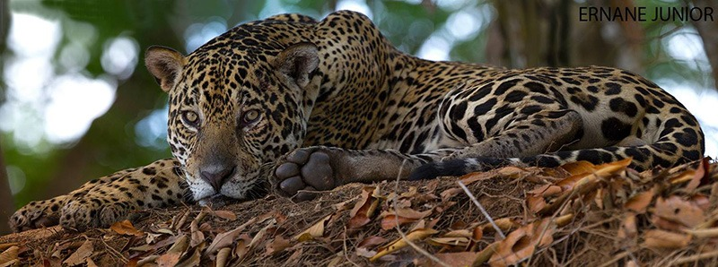 pantanal aventura na america do sul onca