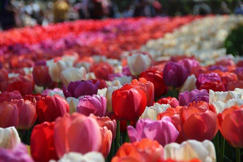 campos tulipas coloridas na holanda