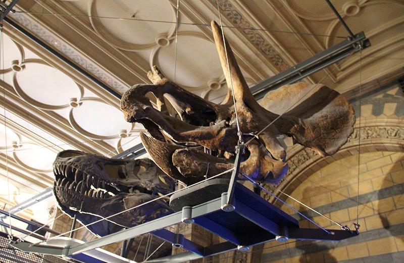 cranio tiranossauro rex triceratops museu em londres