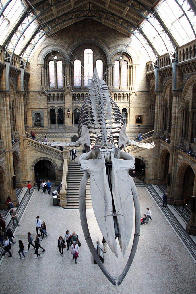 esqueleto no teto baleia gigante museu em londres