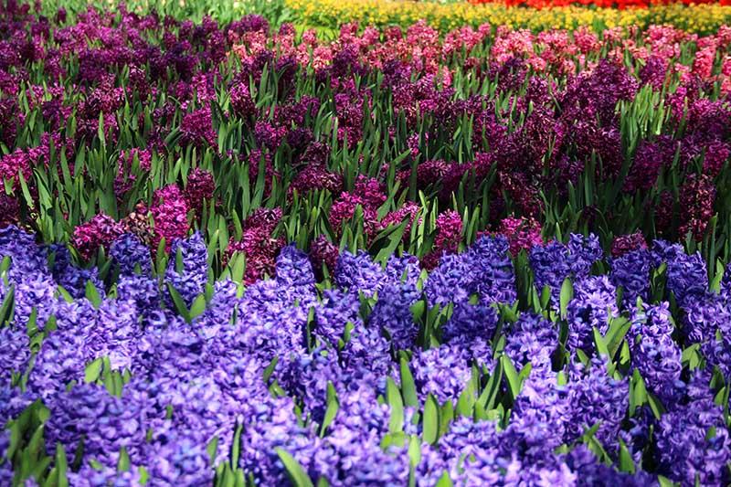 flores holanda dicas abril