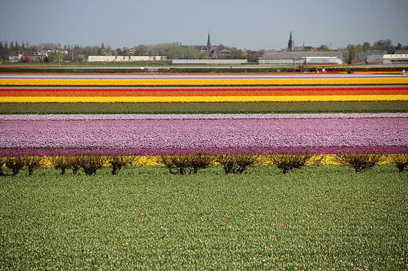 passear campos de tulipas na holanda amsterdam keukenhof