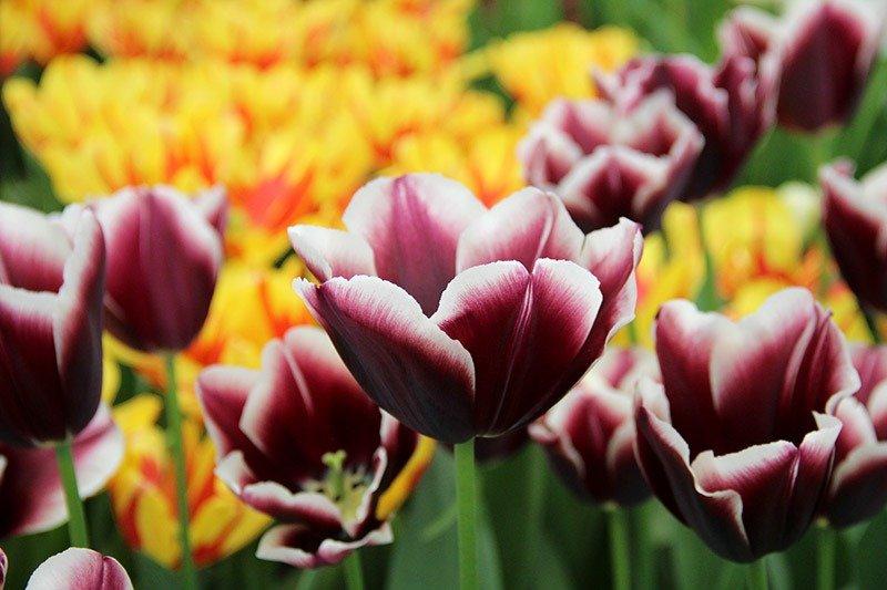 tulipa negra gotica suave holanda