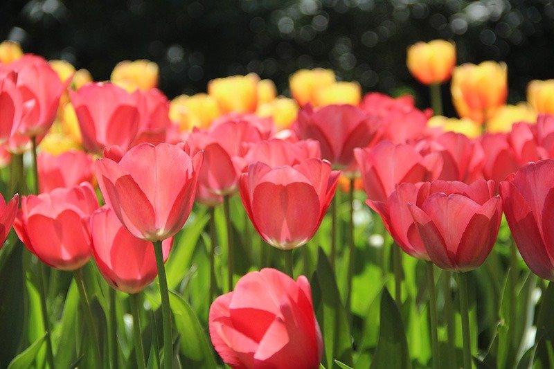 tulipas cor de rosa amarela holanda keukenhof
