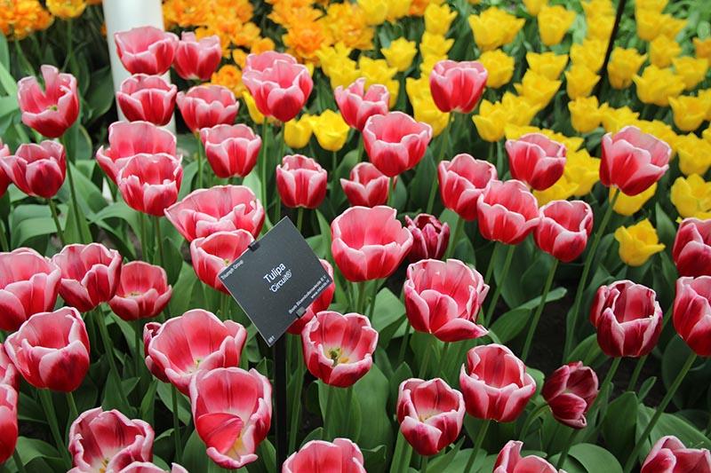 tulipas estufa parque keukenhof placa de identificacao